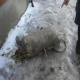 Russie a bombardé aux collecteurs d'ail sauvage