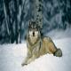 Le loup - Борз